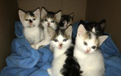 This is a batch of feral foster kittens who were found in a bush on the side of the road in July 2017. They came in sick and were starving when they were brought into PAWS.